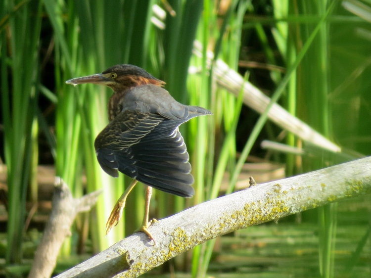 Green Heron stretching wing