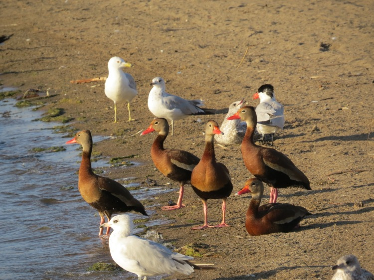 Gulls and a tern surround the ducks