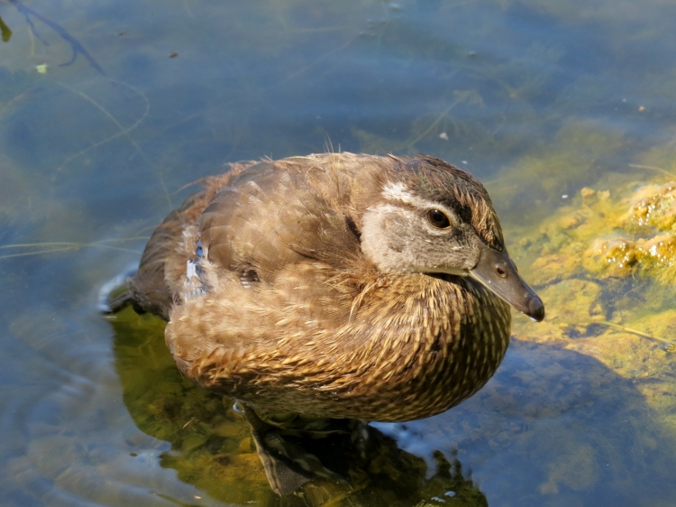 Juvenile Wood Duck at High Park