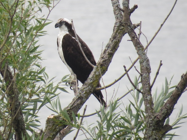 Osprey (but for the branch...)
