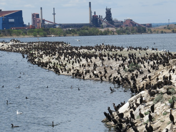 Partial view of Double-crested Cormorant colony on Eastport Drive