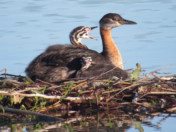 Red-necked Grebe chicks resting with parent