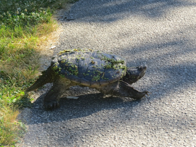 Snapping Turtle marching towards pond on opposite side of pedestrian and cyclist path.