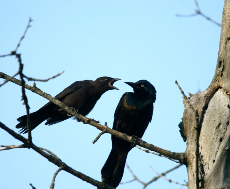 Somebody has bad breath (juvenile and adult Common Grackles at Hendrie Valley Park