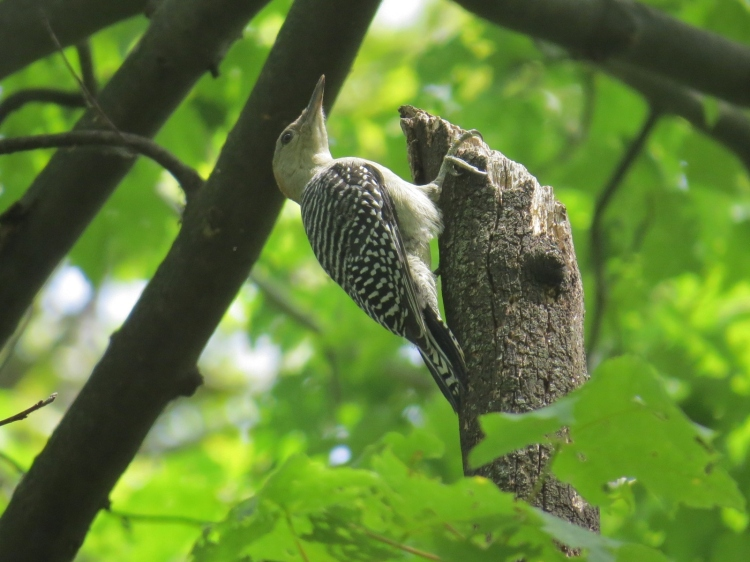 The juvenile Red-bellied Woodpecker was foraging on his own.
