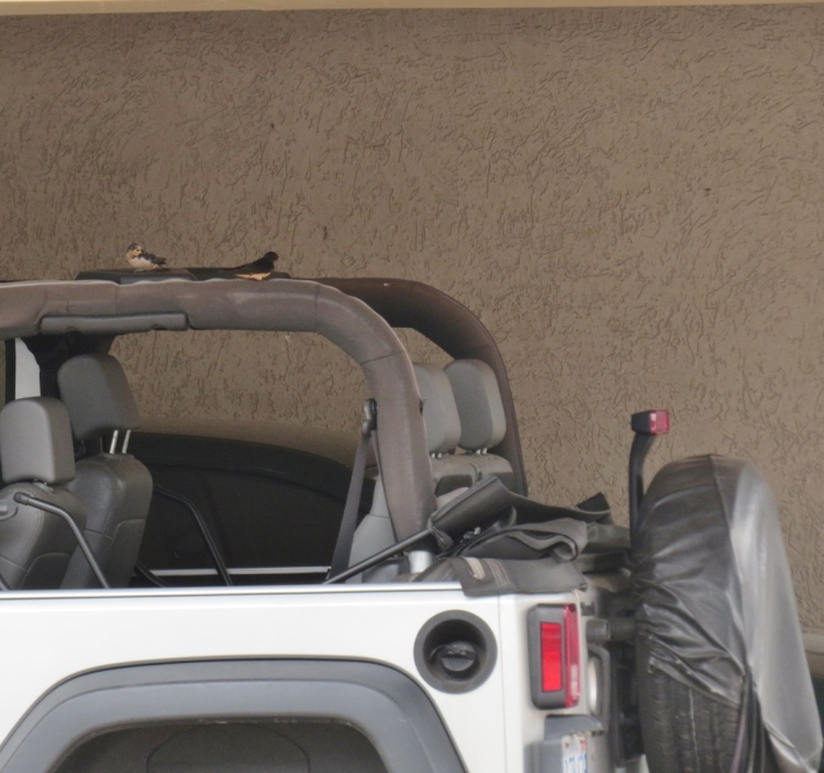 The parents of this recently fledged Barn Swallow enjoy the comforts this Jeep affords.