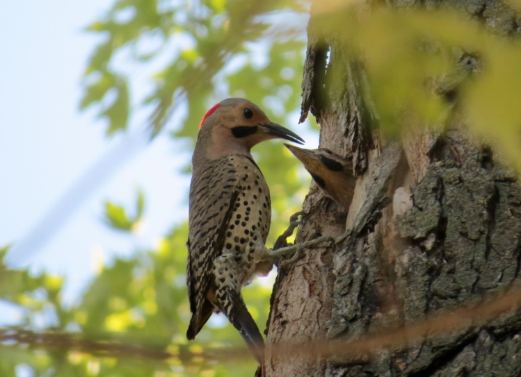 The tree cavity I found in April or May is now home to two juvenile Northern Flickers.