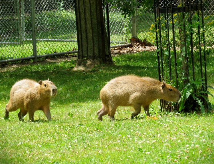 The two famous Capybaras at High Park