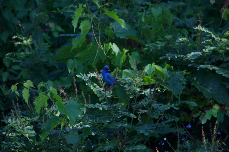 This gorgeous male Indigo Bunting was photographed at Hendrie Valley. The female was rather skittish.