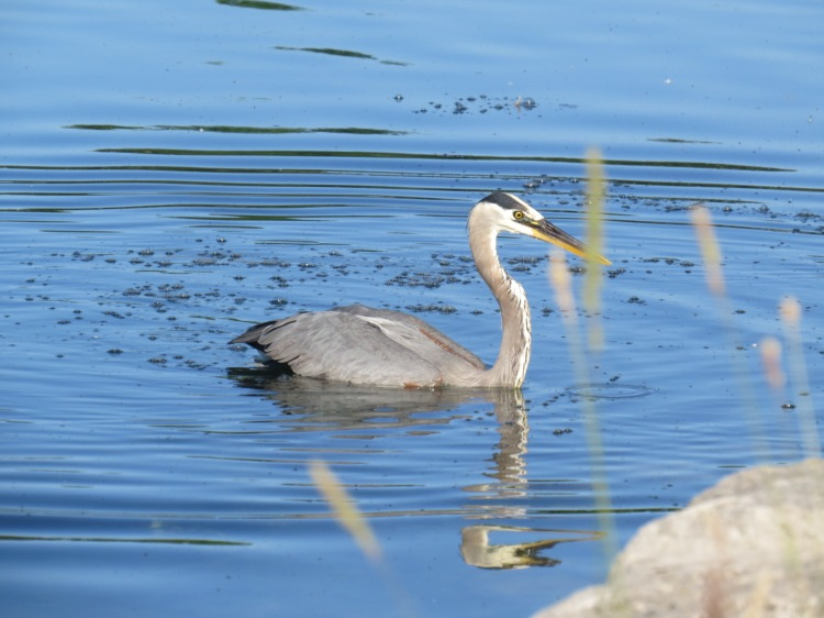 This Great Blue Heron ran into the water, missed the fish then returned to shore to resume the hunt for sustenance.