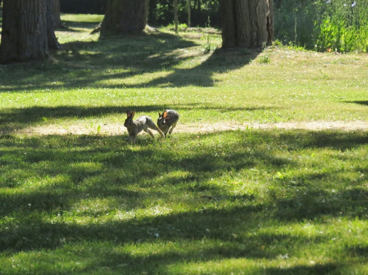 Two juvenile rabbits romping at Colonel Samuel Smith Park.