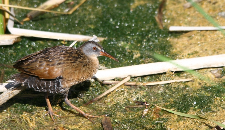 Virginia Rail in marsh