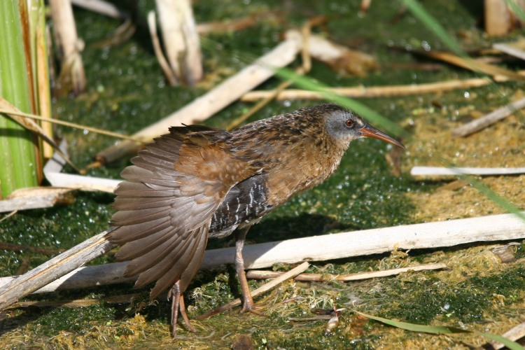 Virginia Rail stretching wing after preening