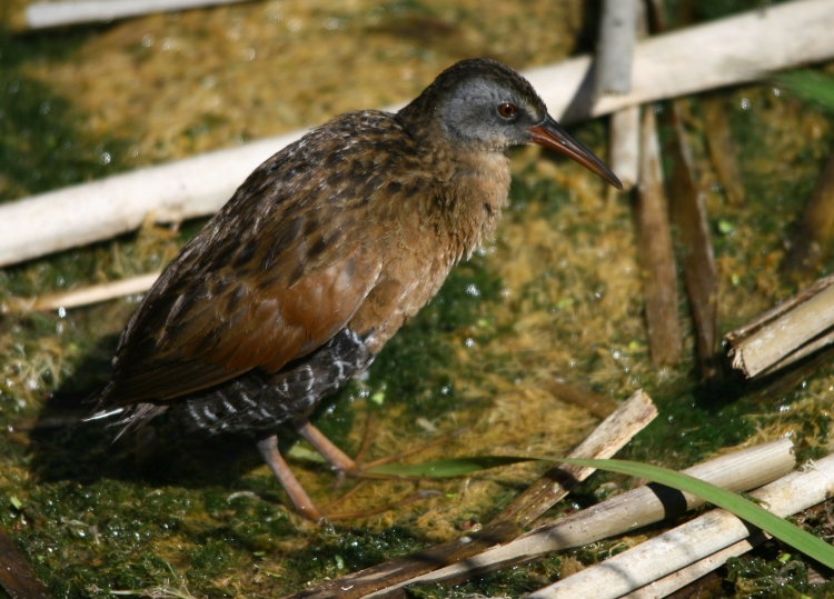 Virginia Rail enjoying the warmth of the sun