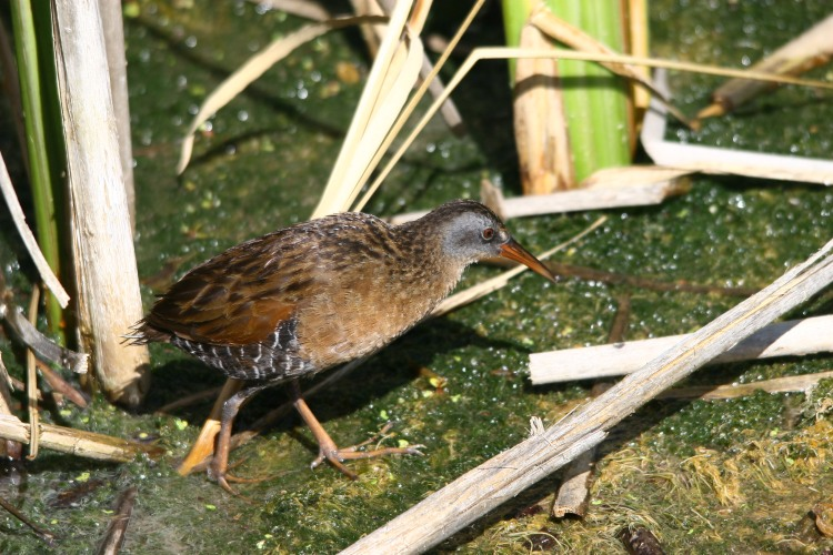 Virginia Rail walking in marsh