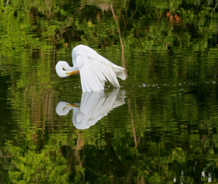 A preening Great Egret