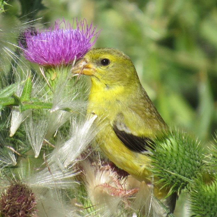 American Goldfinch (male) feasting on thistle