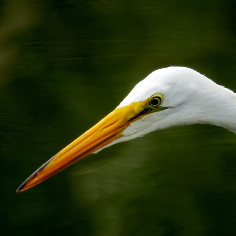 Another look at a Great Egret