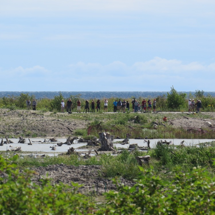 Birders viewing the Common Ringed Plover
