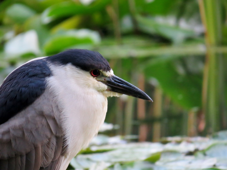 Black-crowned Night-Heron's profile
