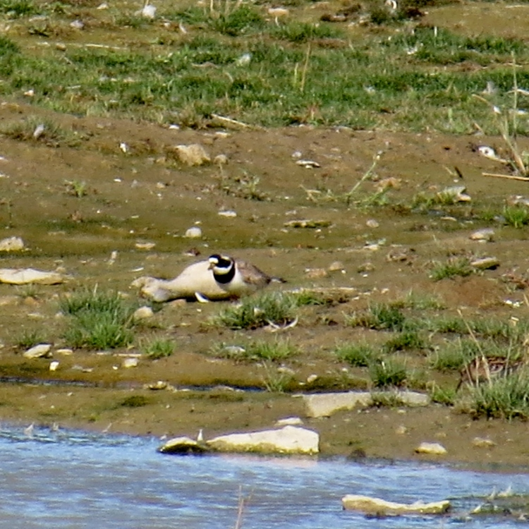 Common Ringed Plover at Tommy Thompson Park (Toronto)