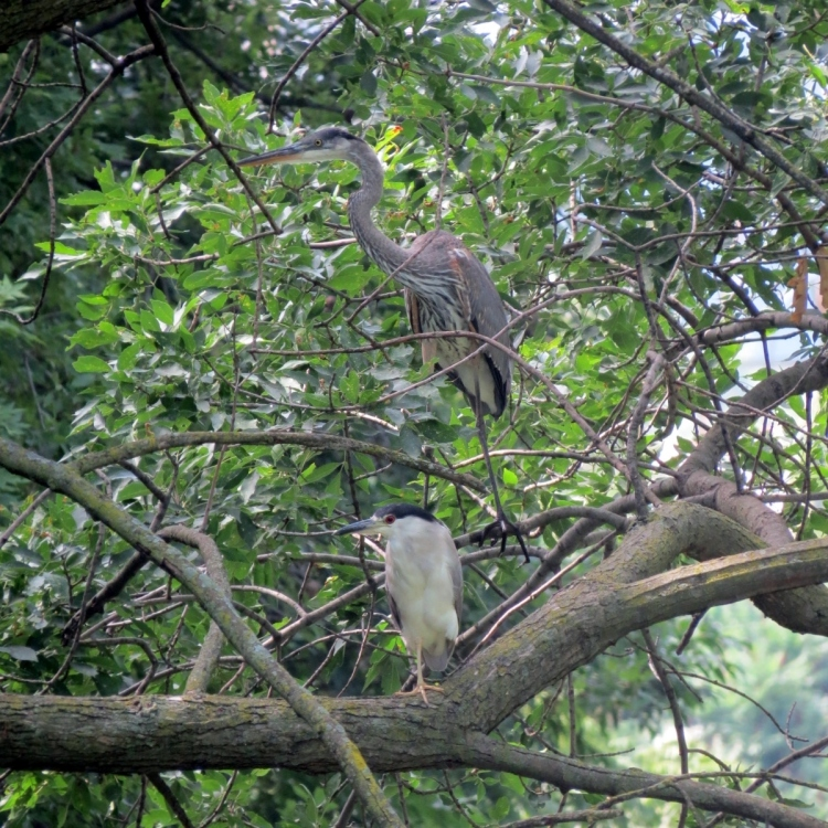 Great Blue and Black-crowned Night-Herons sharing a tree