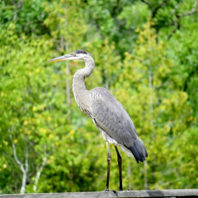 Great Blue Heron on rail at the boardwalk