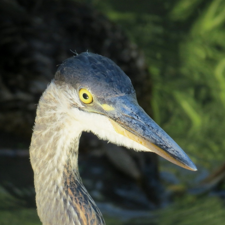 Great Blue Heron's eye