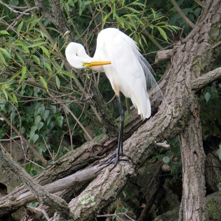 Great Egret preening on a tree limb