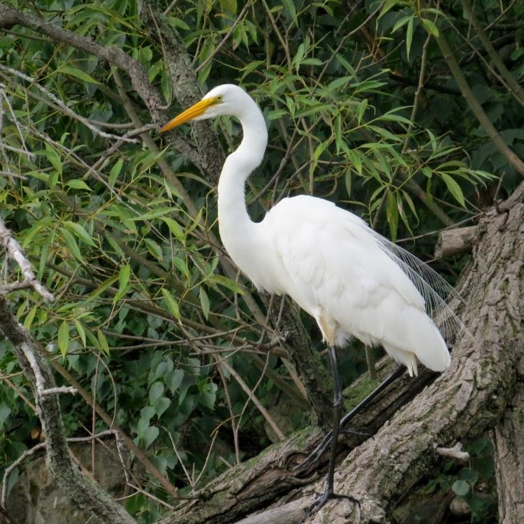 Great Egret resting on a tree limb
