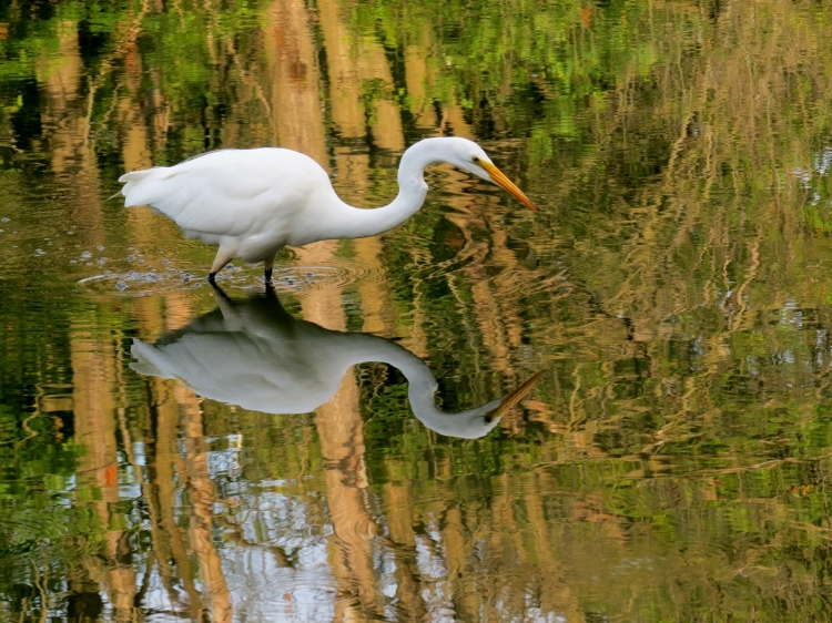Great Egret searching for prey