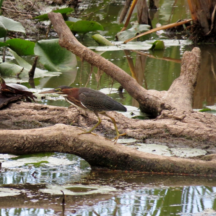 Green Heron at Hendrie Valley