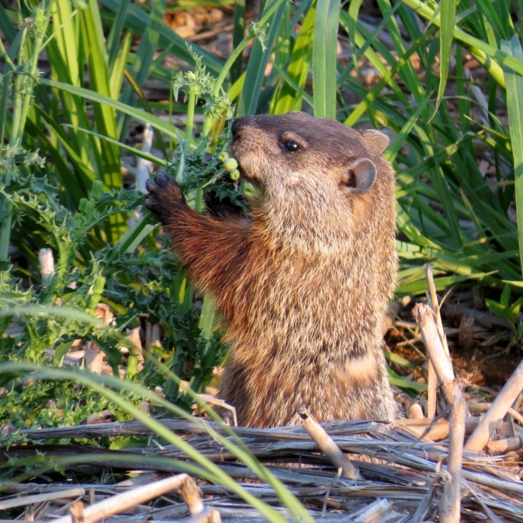 Groundhog enjoying supper