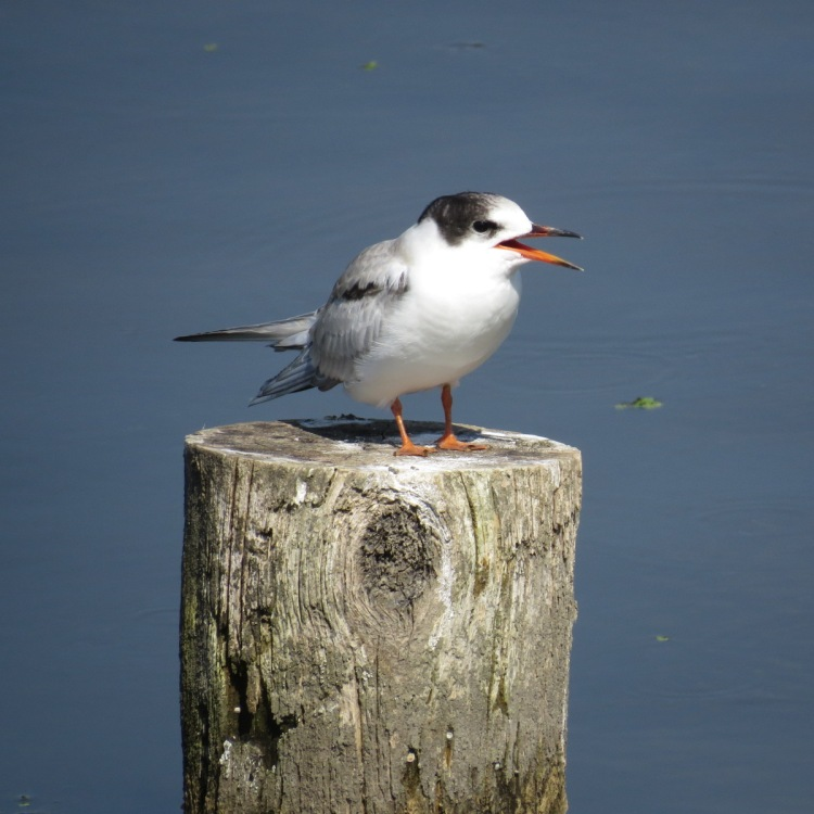 juvenile Common Tern begging incessantly