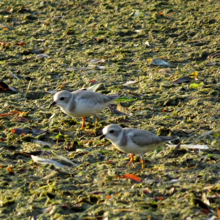 Juvenile Piping Plovers on Burlington Beach