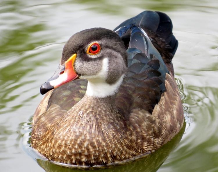 Juvenile Wood Duck (male)