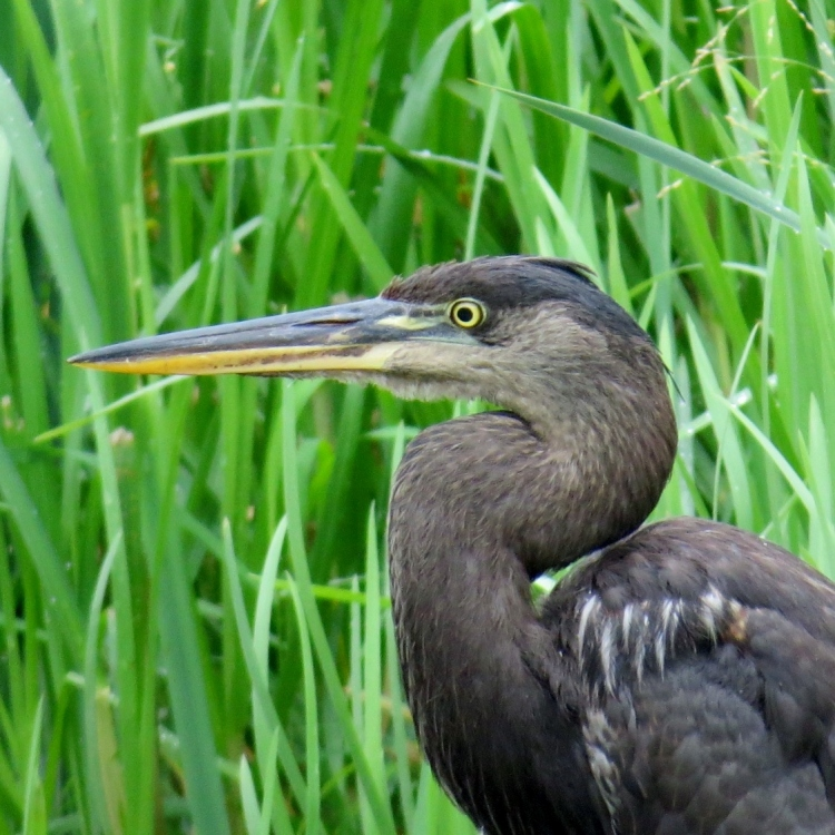 Putative melanistic Great Blue Heron