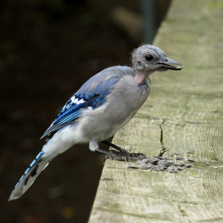 molting Blue Jay