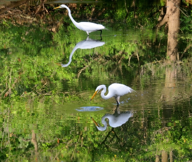 Reflection shot of two Great Egrets
