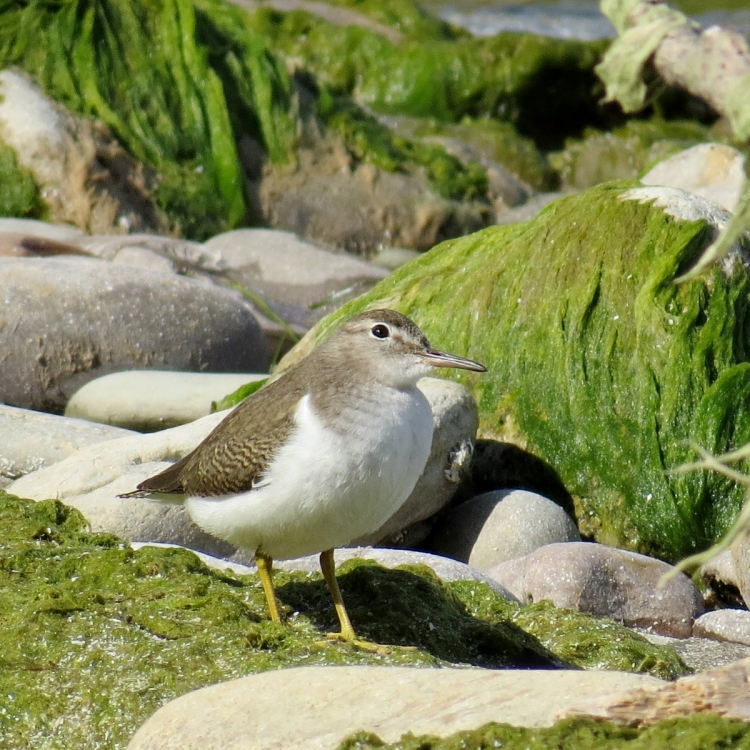 Things are looking up! (Spotted Sandpiper)