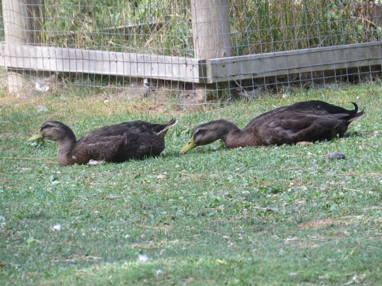 Two American Black Duck opportunists taking full advantage of never-ending supply of food at the High Park Zoo