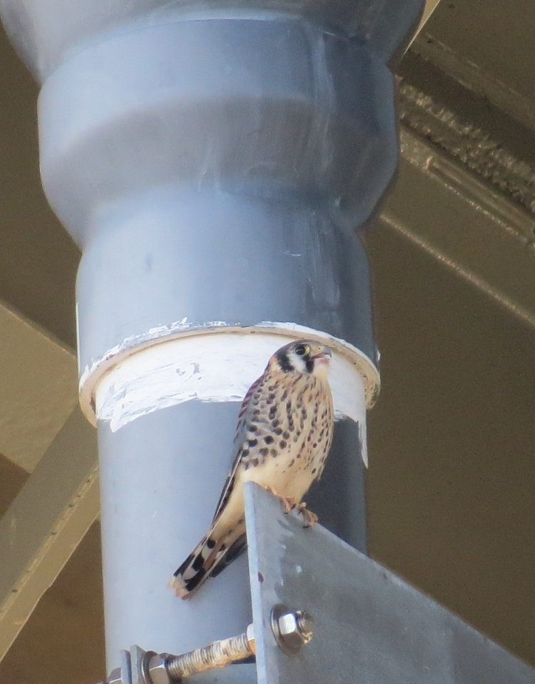 american-kestrel-perched-under-burlington-skyway-bridge-begging-for-food