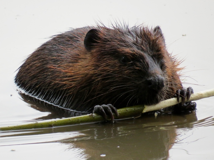 Beaver consuming lunch