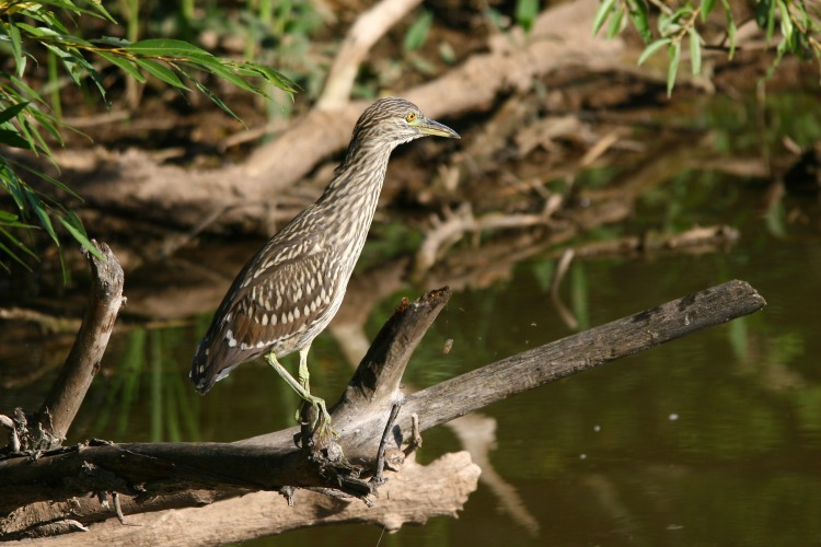 black-crowned-night-heron-juvenile