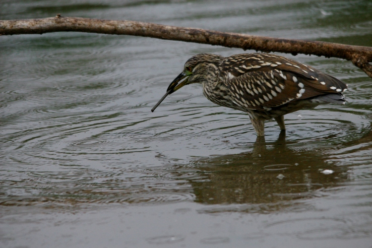 Black-crowned Night-Heron with stick