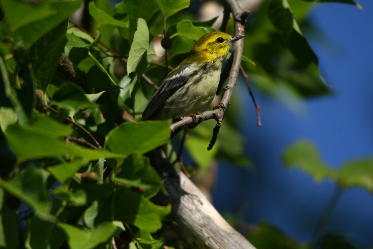 black-throated-green-warbler