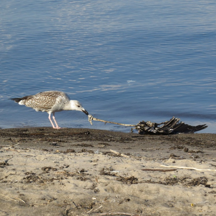 great-black-backed-gull-tugging-avian-carcass-on-the-beach