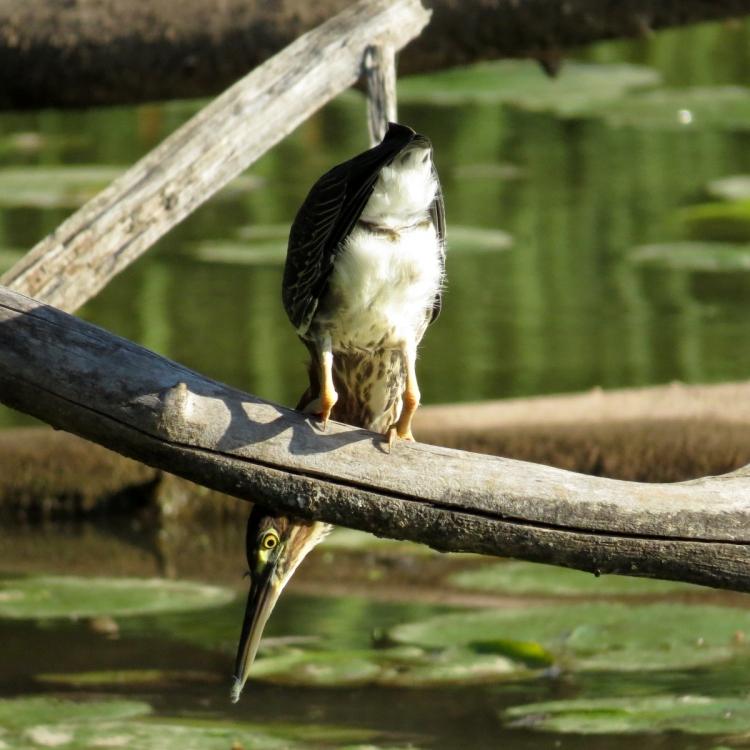 green-heron-hunting
