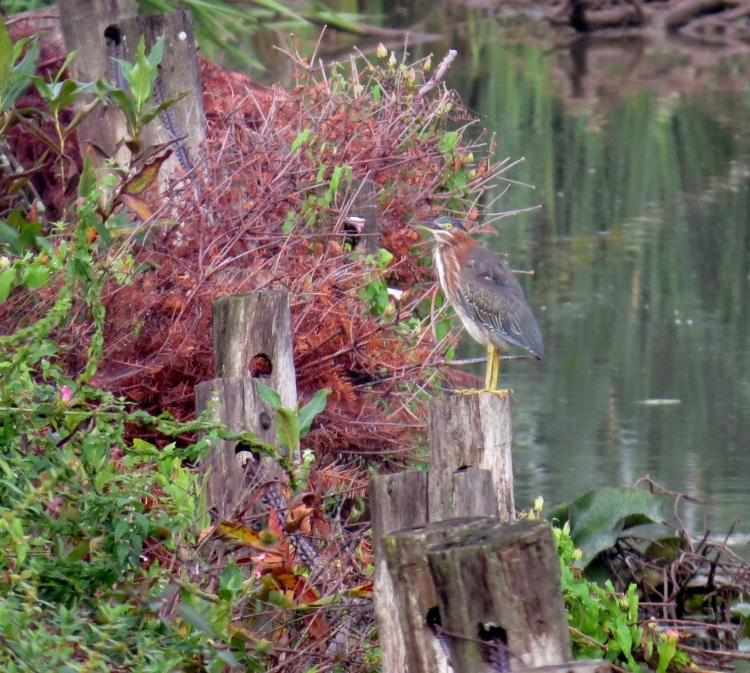 Nicely camouflaged Green Heron