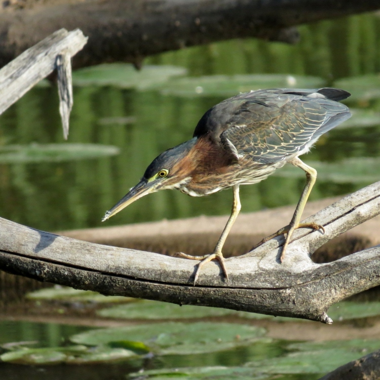 green-heron-on-the-hunt